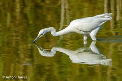 Duplicity (vfr800roja) Tags: natura viladecans egrettagarzetta remolar delta ocells llobregat llacuna martinetblanc catalunya espaa es