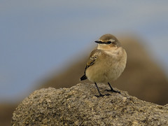 Wheatear Oenanthe oenanthe (Penwith nature) Tags: penwith nature migrant autumn cornwall wheatear