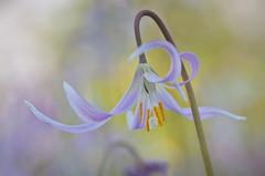 Fawn lily (Yani Dubin) Tags: d7000 colorful focus macrophotography darktable white macro tokinaaf100mmf28macro gimp fawnlily lily spring flower erythronium colour pastel color dof christchurchbotanicgardens newzealand dreamy backlit pink canterbury nature christchurch yellow green wildflower