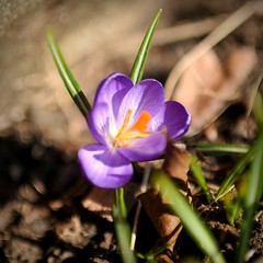 The First Crocus (Viewminder) Tags: love giant easter spring space exploring joy happiness thinking karma through kindness understanding drifting dustball 2013 thefirstcrocus splored viewminder whatanamazingjourneywereallon spacethefreakyfrontier themiracleofabunnylayingabrightlycoloredegg