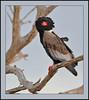 Bateleur adult female (Rainbirder) Tags: kenya ngc npc bateleur tsavoeast terathopiusecaudatus avianexcellence rainbirder