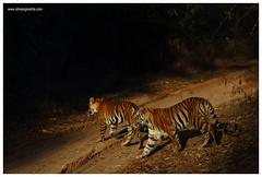 Golden Crossing (Nature Wanderers) Tags: wildlife bandhavgarh royalbengaltiger shivangmehta naturewanderers wwwshivangmehtacom