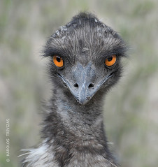 EMUS INTENSE LOOK (AUSTRALIA) (KAROLOS TRIVIZAS) Tags: bird look animal fauna zoo eyes beak feathers australia aves emu gaze glance flightless plumage ratite digitalcameraclub blinkagain bestofblinkwinners dromaious