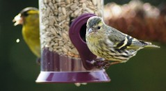siskins (nancy II) Tags: nature scotland wildlife finches siskins