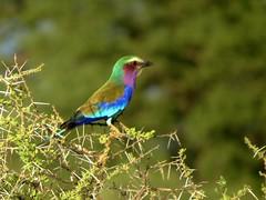 Lilac-breasted Roller (benyeuda) Tags: africa bird tanzania birdwatching tarangire tarangirenationalpark beautifulbird coraciascaudatus