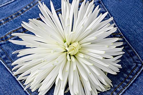 white flower floral fleur botanical whiteflower jeans mum denim bluejeans levis chrysanthemum levisjeans whitemum whitechrysanthemum nikkor1855mmf3556gvr nikond3100