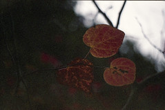 . (dichohecho) Tags: autumn winter film leaves analog analogue pentaxmesuper fujisuperia400 westonbirtarboretum ubuphotosoc roll59 dichohecho