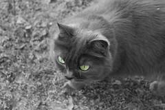Something in these eyes (Carvalho™) Tags: cat blackwhite greeneyes