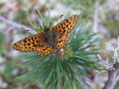 DSCF3172 Butterfly, Trysil, Norway (boaski) Tags: summer mountain nature norway norge norwegen norvegia osen noorwegen trysil hedmark norwege sterdalen norwegia sreosen