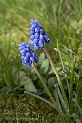 trava (gregork.) Tags: macro spring april makro solkan 2013 pomlad roža