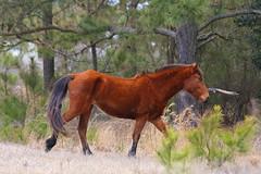 Pretty Lady (beverlyks) Tags: wildhorses corollanc