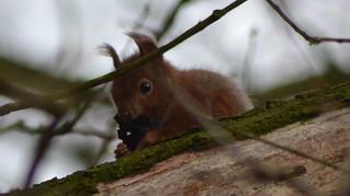 Eichhörnchen, NGID492010198