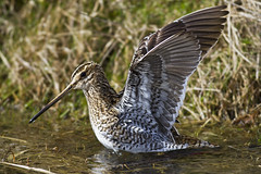 Common Snipe Cley Marsh Apr 2013 (Lakes4life) Tags: uk sea nature birds wildlife norfolk coastal common marshes cley snipe avianexcellence