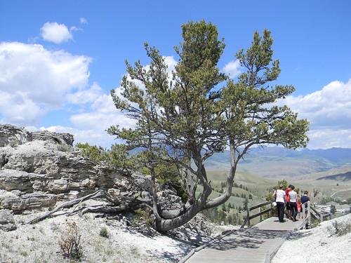 yellowstone travertine mammothhotsprings junipertree
