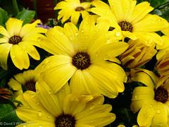 Yellow Overload (David S Wilson) Tags: uk flowers england flower ely fens lightroom flowersplants panasonicdmclx5 davidswilson adobelightroom4