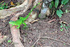 costarica2013_iguana01