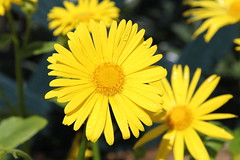 Bringing the Blurry (stepheneverettuk) Tags: yellow canon bokeh daisy efs1785mmf456isusm 60d bringingtheblurry
