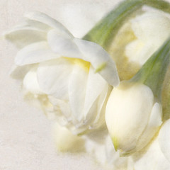 Double Cream (Patsy L Smiles) Tags: flowers spring cream winstonchurchill mygarden narcissi elementsorganizer