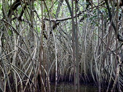 Mangroves - Cte d'Ivoire (UNEP Disasters & Conflicts) Tags: environment mangroves climatechange ctedivoire unep environmentalassessment unitednationsenvironmentprogramme unepmission uneppostconflictenvironmentalassessment environmentalexperts hotil