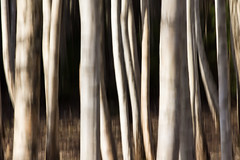 birch trunks (Explored) (Andreas Hagman) Tags: trees abstract nature forest sweden highcontrast nopeople explore motionblur handheld birch scandinavia linkping stergtland explored nordics vretakloster svartfors birchtrunks sonyalphaslta77 minoltaaf200mm28apo mjlorp