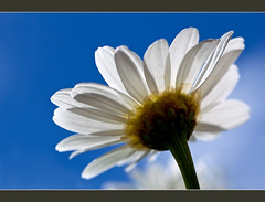 Touching the sky (FocusPocus Photography) Tags: sunlight flower macro backlight canon spring blossom bluesky daisy marguerite blume blte blauerhimmel frhling gegenlicht margerite sonnenlicht 60d
