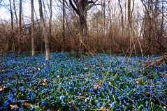 From white to blue (beyondhue) Tags: blue trees lake snow plant canada flower nature forest drops spring mud ottawa ground cover beyondhue
