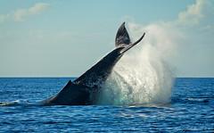 Whale Watching (anakin1814) Tags: ocean fish water mammal hawaii pacific watching maui killer whale whales humpback splash lahainia