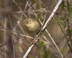 Chiffchaff (John (Gio) * OVER 100,000 VIEWS *) Tags: bird nature kent wildlife olympus gio southeast warbler phylloscopuscollybita birdwatcher chiffchaff fourthirds nbw bwg birdwatchinggroup zuikodigitaled50200mmf2835swd