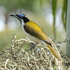 Blue faced Honeyeater (Gillian Everett) Tags: white bird australia queensland bluefacedhoneyeater entomyzoncyanotis birdlife noosahinterland bananabird 365colours 2730april