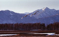 Flying low (threepinner) Tags: bird japan canon spring swan pond hokkaido iso400 t90 tokina   f56 atx hokkaidou selfdeveloped bibai northernjapan   stoeckler 150500mm  alkalinepushing  tegatanuma