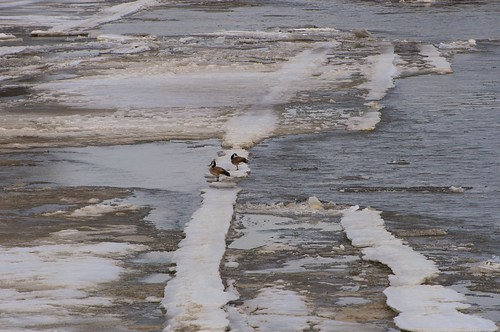 A pair of Canada Geese on rotten ice, Assiniboine RIver