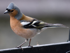 Male Chaffinch (barnesontour) Tags: bird spring chaffinch fringilla coelebs