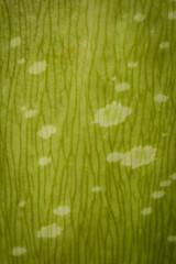 Titan Arum (Amorphophallus Titanum) (Wild Sumatra) Tags: trip travel camping travelling tourism expedition nature beautiful rural forest trekking sumatra indonesia rainforest tour natural hiking wildlife culture visit tourists unescoworldheritagesite unesco worldheritagesite adventure explore journey jungle tropical remote titan arum amorphophallus titanum tours exploration eco tropics biodiversity discover ecotourism  jambi offthebeatenpath   primaryforest kerinciseblatnationalpark  virginrainforest tropicalrainforestheritageofsumatra kerincivalley wildsumatra lukemackin tropicalheritageofsumatra sumatranhighlands    lukeandleighamackin wwwwildsumatracom wildsumatracom