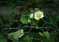strawberry blossom (Jen MacNeill) Tags: plant flower fruit fence garden wire strawberry blossom chickenwire