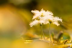 2013-01 (koworu) Tags: light white flower macro green up closeup canon eos photo close 7d blume garten botanischer 2013