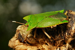 Giant Shield Bug (Asiarcha angulosa, Tessaratomidae) (itchydogimages) Tags: china noah macro bug insect shield yunnan stink hemiptera tessaratomidae tumblr itchydogimages sinobug
