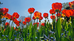 Tulips (kevster2006) Tags: flowers england nikon tokina1224 hampshire nationaltrust d300s nikond300s nationaltrusthintonampner