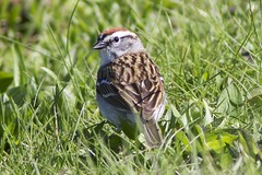 Chipper (Henry McLin) Tags: pennsylvania hanover chippingsparrow codorusstatepark