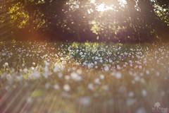 Garden daisies... (Jillpollock) Tags: light sunset daisies garden spring lumire jardin ethereal flare gleam printemps paquerette thr
