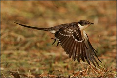 Cuco-rabilongo,Great Spotted Cuckoo (Clamator glandarius) (Jos Diogo 58) Tags: