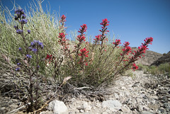 Desert Paintbrush (lacey underall) Tags: california red flower wildflowers castilleja deathvalleyroad castillejachromosa desertindianpaintbrush orbanchaceae