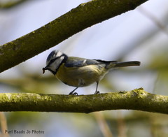 Garden Photos (Jo Southall) Tags: blue baby tree bird yellow tit wildlife feathers feed grub fledgling catterpillar