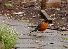 Primavera (Greitas) Tags: primavera birds cu aves unam reservaecolgica jardnbotnico turdus pedregal ciudaduniversitaria angelanavabolaos