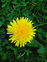 Dandelion (Nada*) Tags: wood uk flowers england color colour green nature mobile les bluebells forest wow spring healthy phone walk cell vivid dandelion health vegetation wald 4s ashridge iphone ashridgeestate ashridgewood iphone4s
