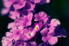 Purple Blossoms (lorenzoviolone) Tags: flowers flower macro closeup vintage lens nikon dof close purple blossom bokeh tube nikkor dslr extensiontube d5200 nikond5200
