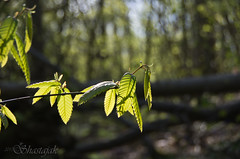 Spring Light (Shastajak) Tags: light leaves woodland pentax bokeh k5 woodlandtrust tamron18250mm pentaxk5 guestlingwoods
