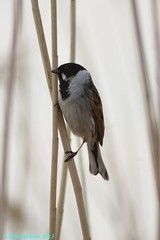 REED BUNTING (Colin Avison) Tags: water attenborough naturereserve quarry beeston nottinghamshire wildlifetrust