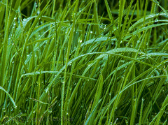grass (purple p@nda) Tags: green wet water grass dew