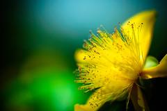 Yellow Calm (moaan) Tags: life sun flower macro green yellow zeiss t flora dof bokeh 100mm stamens soul utata flowering f2 ze hypericumcalycinum makroplanar lookingforthesun 2013 inlife souloflife  canoneos5dmarkiii zeissmakroplanart2100ze carlzeissmakroplanart100mmf2ze