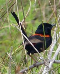 Red-backed Fairy-wren. Male. Malurus melanocephalus. (gailhampshire) Tags: male birds australia fairywren melanocephalus redbacked malurus taxonomy:binomial=malurusmelanocephalus